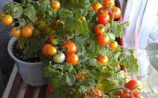 Помідори на підвіконні цілий рік, кращі сорти помідорів для вирощування на підвіконні + відео