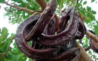 Ріжкове дерево — де росте, фото і опис, інструкція із застосування сиропу, відео