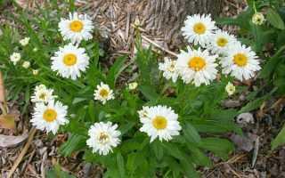 Ромашка садові багаторічна — посадка і догляд, розмноження, відео