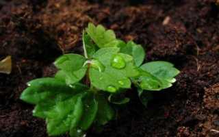 Вирощування полуниці (садової суниці) з насіння в домашніх умовах. фото