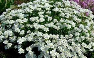 Іберіс квітка. Опис, особливості, види і догляд за иберис