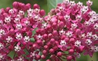 Ваточник квітка. Опис, особливості, догляд і види Ваточник