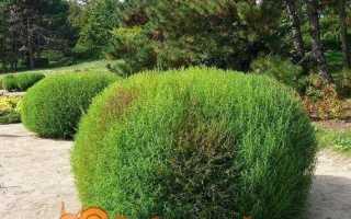 Кохия — річний кипарис — вирощування з насіння, коли садити. Сорти з фото
