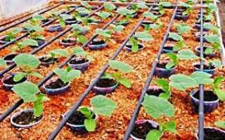 Посадка розсади огірків в гарячі тирсу — відео