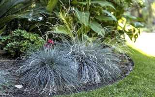 Вирощування овсяніци з насіння — посадка і догляд, відео