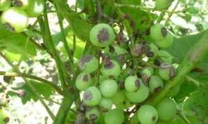 Хвороби і шкідники винограду з фото, описом, ніж обробити, відео