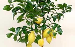 Як виростити лимон з кісточки в домашніх умови, як правильно посадити насіннячко, відео