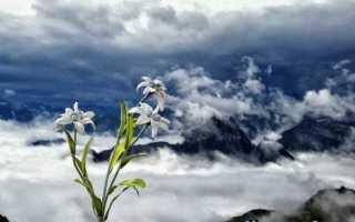 Едельвейс квітка. Опис, особливості, види і догляд за едельвейсом