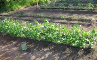 Що можна садити після гороху, які культури небажано вирощувати, відео