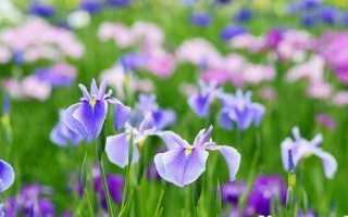 Ірис. Опис і догляд за квіткою ірисом