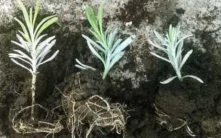 Розмноження лаванди — мимовільні сіянці, відведення, живці, відео
