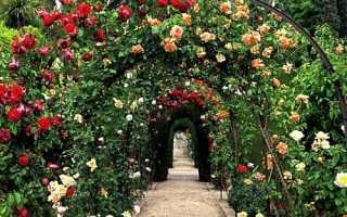 Посадка витких троянд і подальший догляд за ними, відео