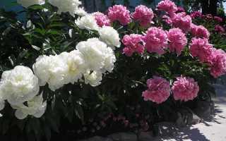 Підживлення півонії — коли і які добрива вносити для цвітіння, відео