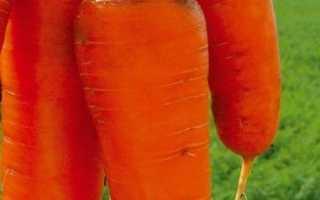 Морква Курода: опис сорту, рекомендації по вирощуванню