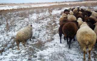 Підготовка отари овець до зими у вівчарстві, кормова база, загони, відео