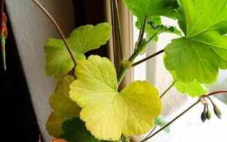 Чому у герані жовтіють і сохнуть листя?