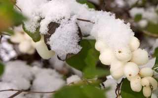 Види снежноягодника — звичайний, західний, горолюбівий, відео