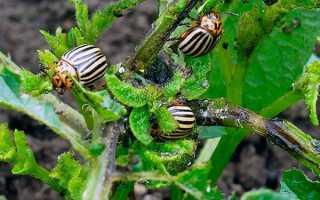 Табу від колорадського жука — інструкція із застосування, прищепила використання, відео
