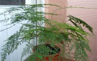 Аспарагус пір'ястий — правила вирощування в домашніх умовах, відео