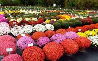 Китайська куляста хризантема: характерні відмінності, сорти, відео