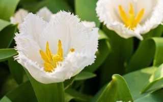 10 наймодніших білих сортів тюльпанів. Опис, фото