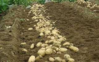 Позакореневе підживлення картоплі мінеральними добривами + відео