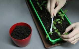 Як пікірувати перець: підготовка розсади, особливості процесу, відео