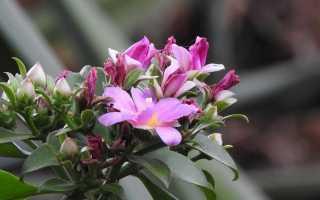 Переськия — древній кактус. Догляд, вирощування, розмноження. Хвороби і шкідники. Види. Квітка. Фото.