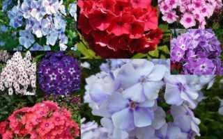 Кращі сорти флоксів — пірамідальні, волотисте, мелкоцветковиє, відео