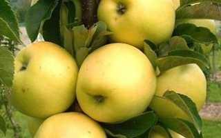 Колоновидна яблуня — посадка і догляд
