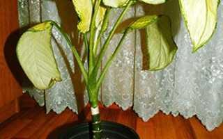 Чому у диффенбахії жовтіють листя, хвороби кімнатної квітки, відео