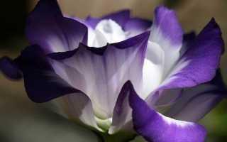 Еустома квітка. Вирощування еустоми. Догляд за Еустома