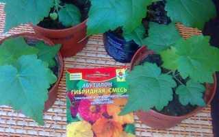 Абутілон з насіння — правила підготовки до посіву, вибір грунту, відео