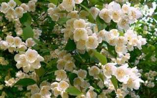 Бузок квітка. Опис, особливості, види і догляд за бузок
