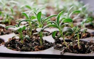 Розмарин з насіння — підготовка грунту, строки посіву, догляд, відео