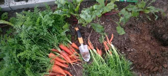 Коли викопувати буряк і морква на зберігання, як зберігати взимку