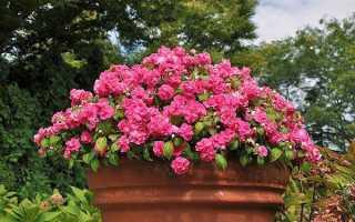Бальзамін — використання добрива для рясного цвітіння, відео