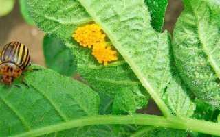 Засоби від колорадських жуків: класифікація, популярні препарати