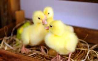 Чим годувати гусенят, виведених в інкубаторі, в перші дні життя і добових в домашніх умовах, відео