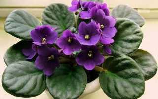 Фіалка квітка. Опис і догляд за фіалкою