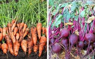 Коли прибирати морква і буряк — рекомендації щодо термінів збору врожаю і зберігання, відео