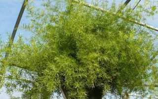 Аспарагус — батьківщина рослини, корисні властивості, значення квітки, енергетика, відео
