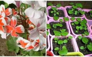 Герань — посів насіння, вирощування, догляд за саджанцями, відео