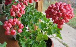 Герань тюльпановідная — правила догляду, насіння рослини, фото і відео