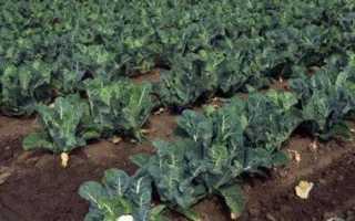 Як виростити кольорову капусту, посів насіння, умови вирощування, відео
