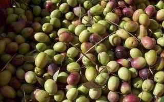 Оливки або маслини — в чому різниця і користь? Різновиди. фото