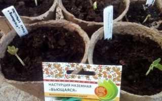 Коли садити розсаду настурції: терміни і особливості посіву, відео