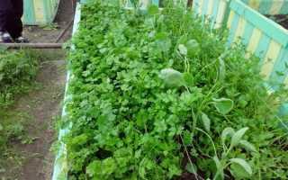 Петрушка — вирощування у відкритому грунті, посів насіння і догляд, відео
