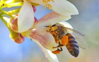 Все про бджолиному пилку — корисні властивості і застосування, відео