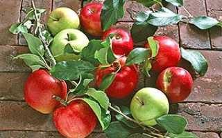 Як правильно провести окулірування яблунь влітку з деревиною і без деревини + відео